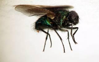 Много мух во сне: что означает такой сон? К чему снится муха большая.