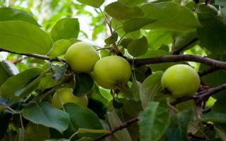Видеть во сне яблоню с крупными. К чему снится яблоня
