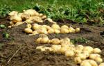 К чему снится покупать мешок картошки. Что сулит приснившийся картофель