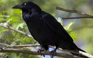 Вороны снятся к чему черные. К чему снится черная ворона