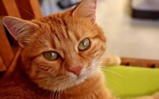 Сонник большой рыжий кот. Рыжий кот толкование сонника