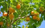 Сонник абрикосы на дереве спелые. К чему абрикос снится мужчине