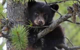 Как растолковать, к чему снится медвежонок. К чему видеть во сне медведя