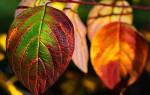К чему снятся кленовые разноцветные листья. Жёлтые листья