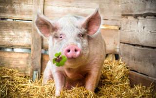 К чему снится Свинья? К чему видеть во сне свиней? Общее толкование.