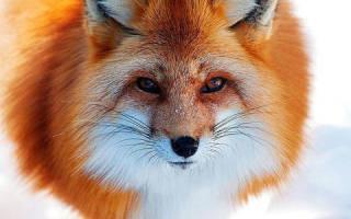 Сонник лиса большая. К чему снится рыжая лиса