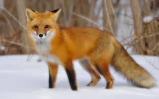 К чему снится живая лиса. К чему снится Лиса Кусает