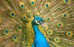 Сонник к чему снятся птицы на голове. К чему снится павлин