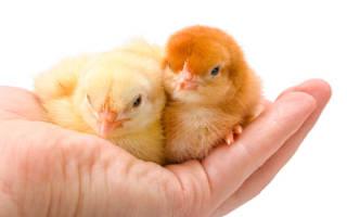 К чему снятся желтые цыплята. К чему снятся цыплята? Сонник цыплята