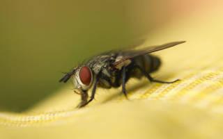 К чему снятся мухи и что сулит встреча с ними во сне. Сон мухи