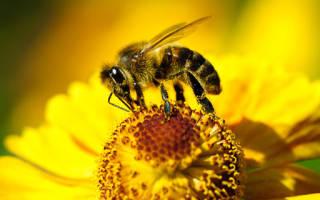 «Пчела к чему снится во сне? Если видишь во сне Пчела, что значит.