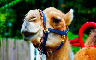 К чему снится верблюд. К чему видеть во сне верблюда