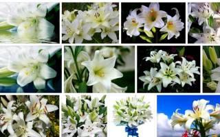 К чему снится лилия. Сонник лилии белые