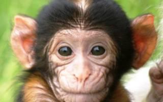 Приснилась маленькая обезьяна: сонник. Магия чисел