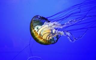 Сонник медуза большая в воде. Медуза в воде