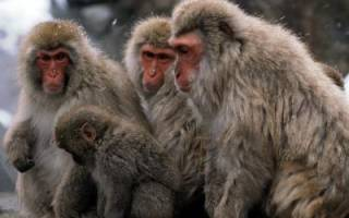 Узнаем из сонников, к чему снятся обезьяны. К чему приснилась обезьяна