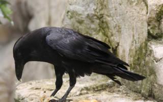 К чему снятся вороны большие. Толкование по сонникам