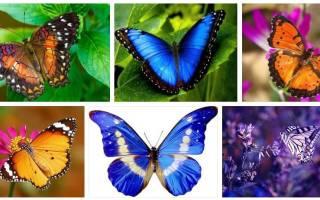 К чему снится бабочка большая. Значение сна про бабочек