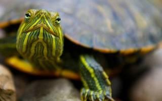 Большая черепаха по соннику. К чему приснилась черепаха