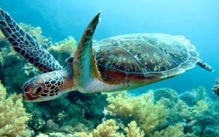 К чему приснилась черепаха? К чему снится черепаха.