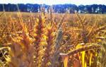 Что означает пшеница во сне. Значение сна про хлев