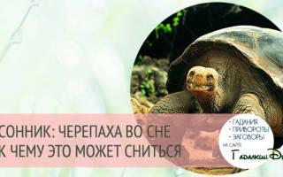К чему снится черепаха женщине: толкования. К чему снится Черепаха