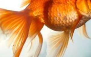 Сонник золотые рыбки. Сонник психолога Г