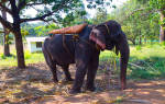 К чему снится слон женщине? Сонник слон, к чему снится слон, во сне слон.