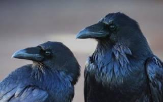 Черные вороны: толкование сна. К чему снится Ворон