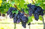 Сонник гроздья винограда. К чему снится виноград по соннику