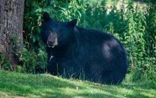 Анализ «Медведь на воеводстве» Салтыков-Щедрин. Медведь на воеводстве