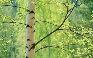 Краткое описание листа березы. Отвар листьев березы. Как и где растет береза