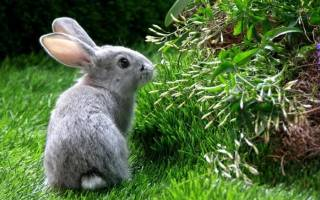 Приснился заяц или кролик к чему снится. Поймать зайца руками