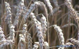 Поле пшеницы. К чему снится пшеница