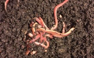 Секреты разведения червей. Разведение навозного червя в домашних условиях