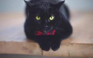 К чему снится Черная Кошка? К чему снится черная кошка.