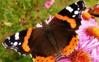 Сонник бабочка, к чему снится бабочка, во сне бабочка.