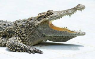 Крокодил кусает по соннику. Укусил крокодил
