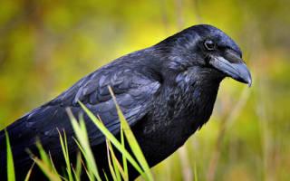 Черный ворон по соннику. К чему снится черная ворона или ворон: сонник