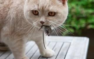 К чему снится кошка ловит мышь, какой это сон? К чему снятся мыши.