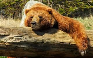 Постоянно снится медведь к чему. К чему снится Медведь